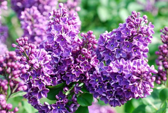 Lilac8-05-1796