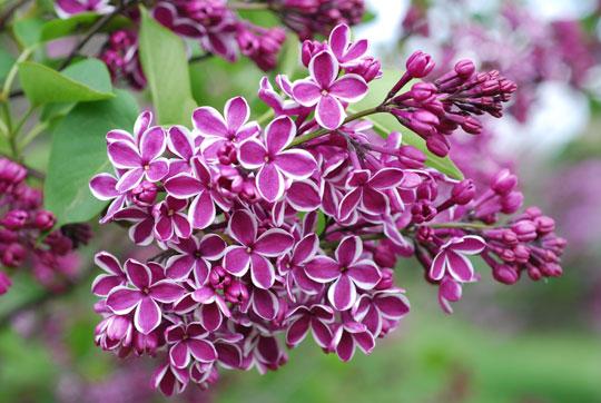 Lilac8-05-2275