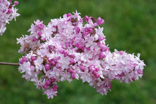 Lilac8-05-2531