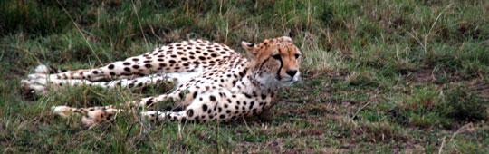 Africa7-09-5723cheetah