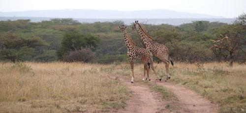 Africa7-09-5334giraffe