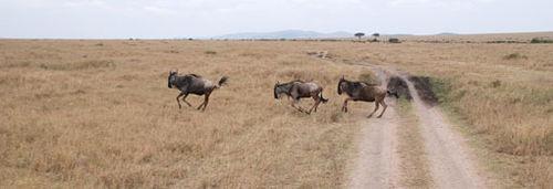 Africa7-09-5547wildebeest