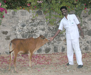Kannan_and_calf