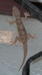 Lizard_closeup