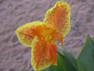 Garden_iris_closeup