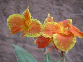 Garden_irises2