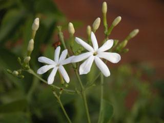 Garden_jasmine
