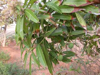 Garden_mango_tree