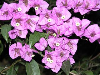 Kodai_flowers_pink2_1272