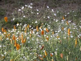 Kodai_flowers_poppies2_1269