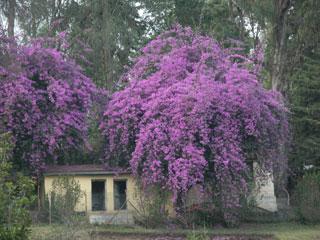 Kodai_flowers_purple4_1264