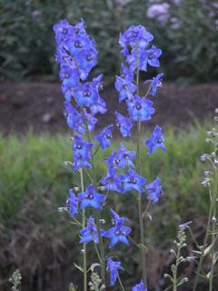 Kodai_flowers_blue2_1265