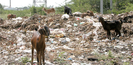 Goats_and_garbage_432