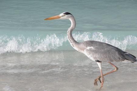 Heron_2005-08-3706