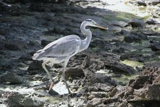 Heron_2005-08-3544