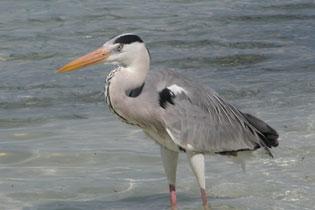 Heron_2005-08-3513