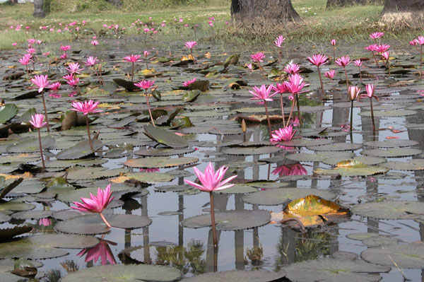 Pink_waterlily_2004-3727