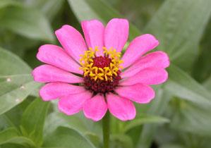 Pink_flower_2004-1858