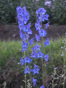 Blue_flower_2004_1266