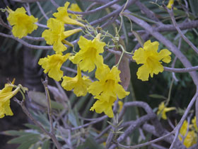 Yellow_trumpetflower_2004_1