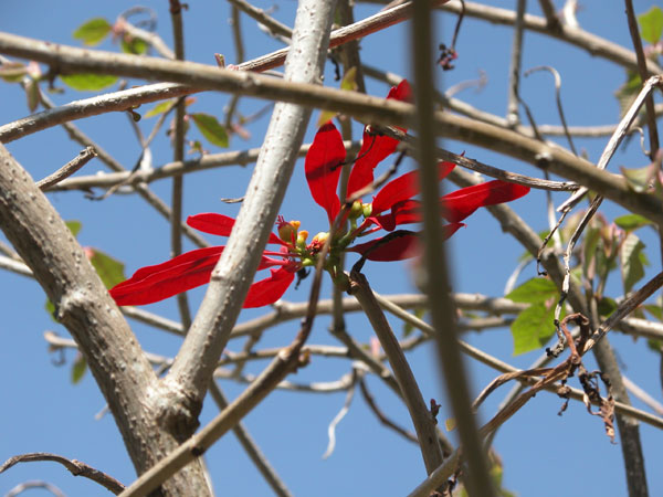 Red_flower_2004_1154