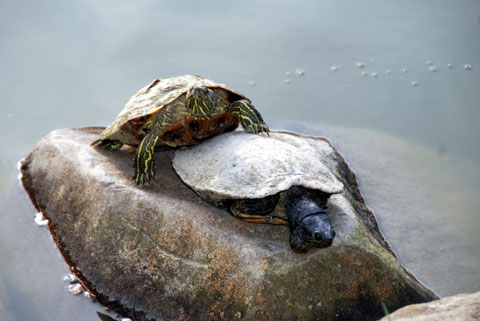 Turtles9-04-0998