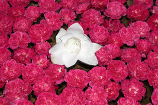 Pink_flowers_2003-00464