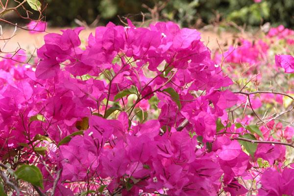 Pink_flowerbush_2004-2707