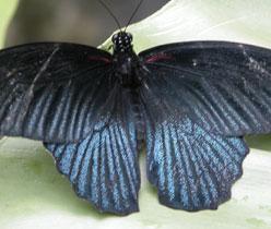 Blue_butterfly_2004-2214
