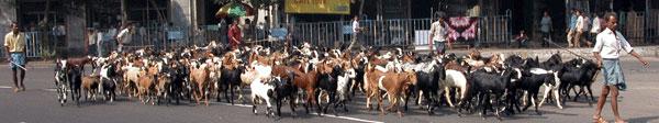 Goats_2006-11-5476