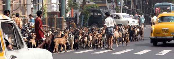 Goats_2006-11-5481