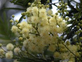 Yellow_fluff_2004_1245