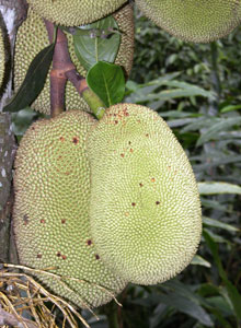 Green_jackfruit_2004-1938