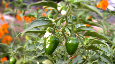 Green_chilies_2004_0761