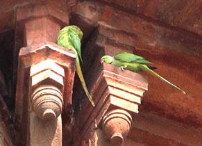 Green_parrots_2005-0188
