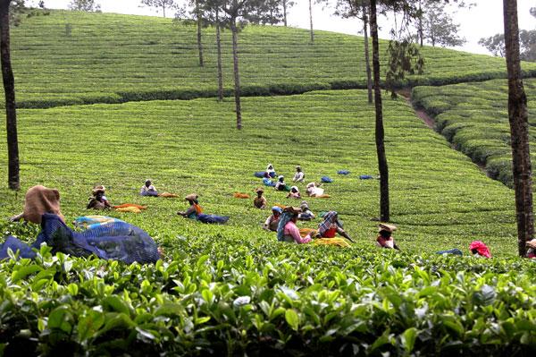 Green_tea_2004-2011