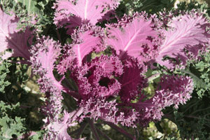 Pink_cabbage_2006-11-5826