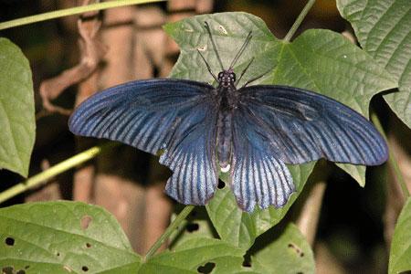 Blue_butterfly_2006-07-2778