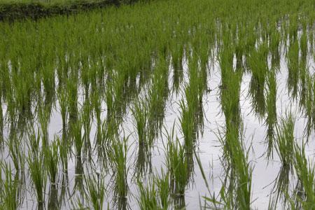 Green_rice_2006-07-2825