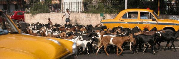 Goats_2006-11-5477