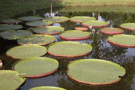 Green_lilypads_2006-10-5281