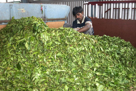 Green_tea_2006-10-4516