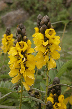 Yellow_flower_06-10-4503
