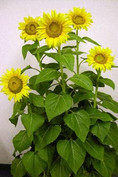 Yellow_sunflr_06-07-3031