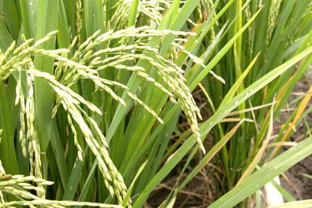 Rice_2006-07-2821
