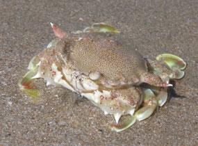 Tsunami_crab_4129