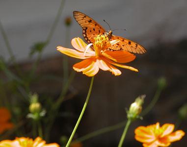 Orange_butterfly_2004_0638