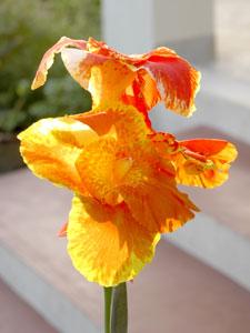 Orange_iris_H1_2004_0640