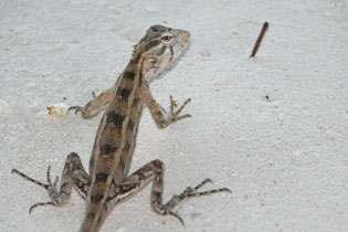 Maldives lizard