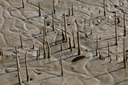 Sunderbans mangrove mud
